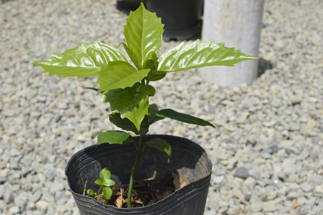 식나무.jpg