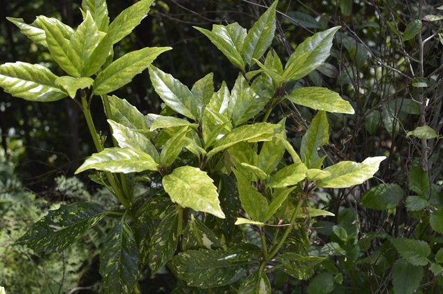 식나무2.jpg