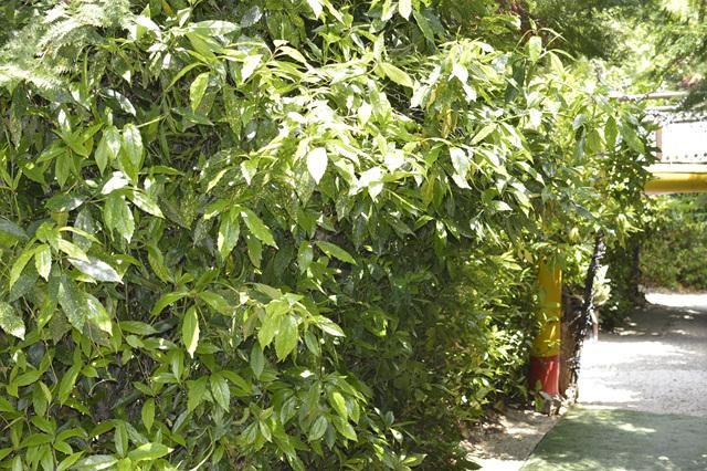 식나무4.jpg